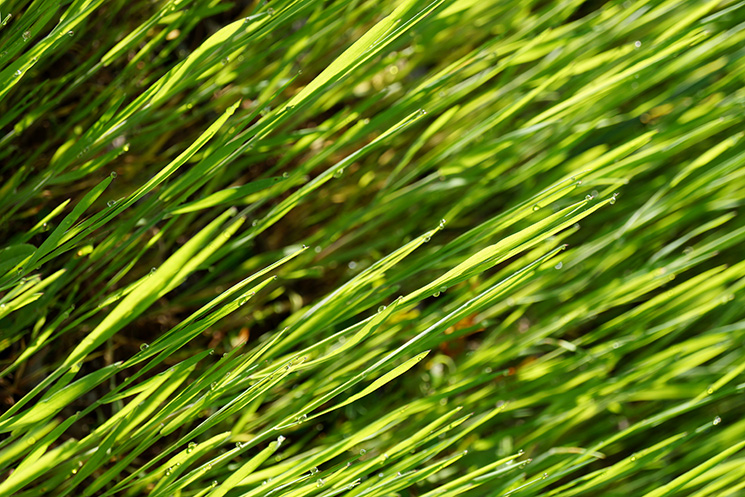 Free Download! Spring Grass with Dew from Judah Creative, a graphic design & illustration studio near Branson & Springfield, MO
