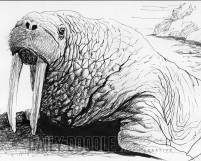 Ink drawing of a walrus by Judah Fansler, Artist & Owner at Judah Creative, a full service graphic design & Illustration studio near Branson, MO & Springfield, MO